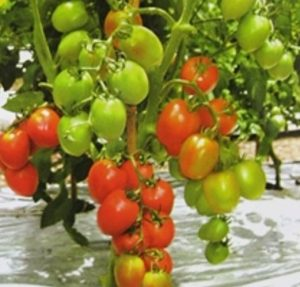 Benih Tomat Hibrida Tahan Virus-gambar tomat