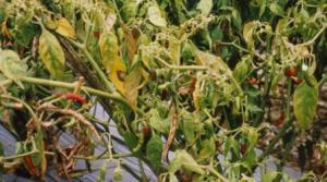 Layu Jamur Dan Bakteri Pada Cabe
