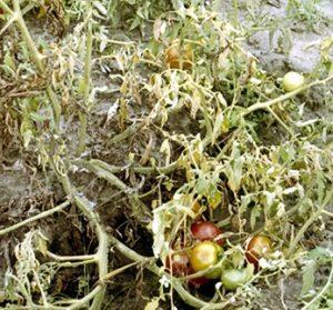 Layu Jamur Dan Bakteri Pada Tomat