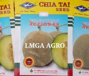 Jual Benih Dan Budidaya Melon Action 88 Kapal Terbang Hasil 45 Ton