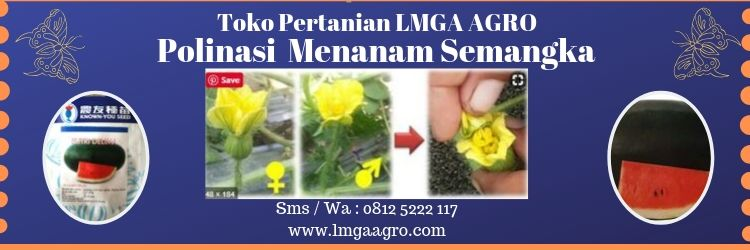 Polinasi Menanam Semangka, Semangka, Semangka Inul, LMGA AGRO, Toko Pertanian, Harga murah