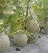 Tanaman Melon LA-02 F1,LMGA AGRO, toko pertanian, budidaya melon