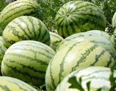 buah semangka kuning,lmga agro, hama dan penyakit semangka, benih semangka, toko pertanian, LMGA AGRO