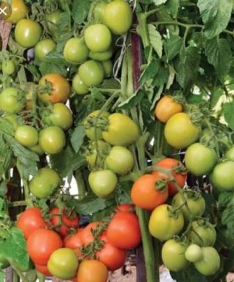 peluang usaha pertanian, menanam tomat, budidaya tomat, toko online, lmga agro
