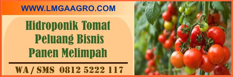 Hidroponik, tomat, peluang, bisnis, panen, melimpah