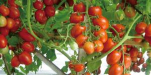 Tomat Tahan virus kuning dan keriting, Benih sayur, Harga Murah, LMGA AGRO