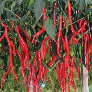 Sukses Bertanam Cabe,Pertanian Cabe,budidaya cabe,benih cabe