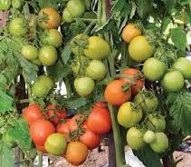 sukses menanam cabe dan tomat-gambar tomat