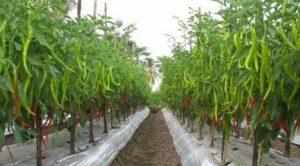 sukses menanam cabe-pertanian cabe