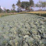 kebun kol, tips budidaya, lmga agro, jual benih, murah, harga grosir, toko online, sayur, sayuran