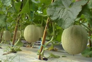 Manfaat buah melon, menanam melon, jual benih melon, toko pertanian, lmga agro