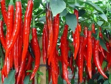 jual benih f1 profit 32, cabe besar, cabai, jual benih terbaru, harga promo, toko pertanian, online, lmga agro