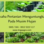 Usaha Pertanian Menguntungkan Pada Musim Hujan