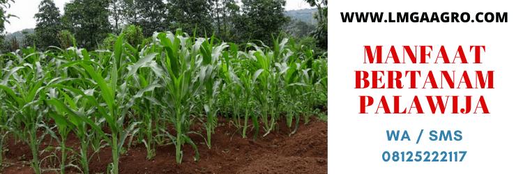 manfaat, bertanam, palawija, tanaman