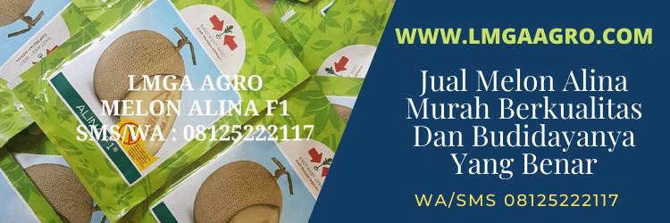 jual, melon, alina, f1, murah, berkualitas, harga, benih, bibit, buah
