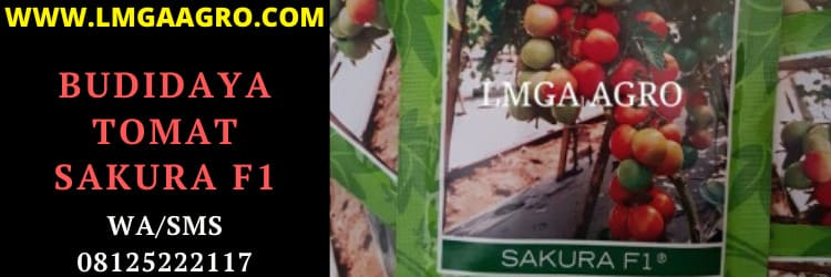 budidaya, tomat, buah, buah tomat, budidaya tomat, f1, sakura, hibrida