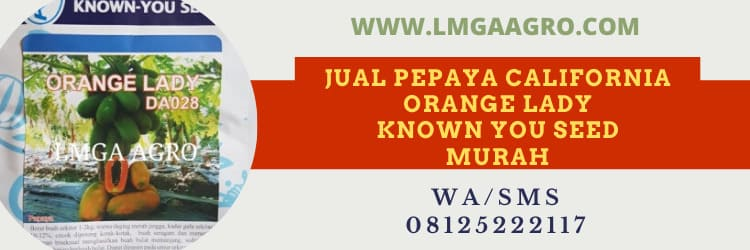 known you seed, murah, harga murah, orange lady, orange, lady, pepaya