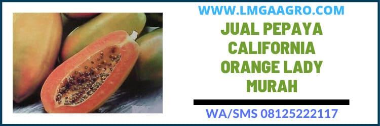 Jual Pepaya California Orange Lady Murah