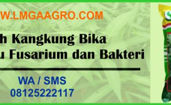 benih, kangkung, bika, tahan, layu fusarium, bakteri
