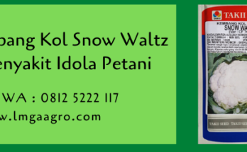 kembang kol,benih kembang kol,benih kol,bunga kol,budidaya bunga kol,kembang kol snow waltz,lmga agro