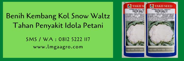 Benih Kembang Kol Snow Waltz Tahan Penyakit Idola Petani