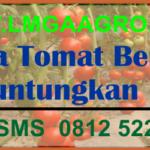 Budidaya Tomat Berkualitas Menguntungkan Petani