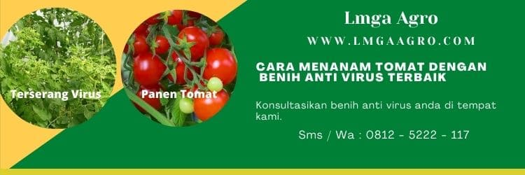 Benih Anti Virus, Akibat serangan virus, Gemini virus, Virus kuning, Lmga Agro