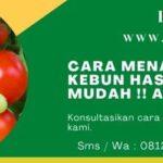 Cara Menanam Tomat Di Kebun Hasil 5 Kg Dengan Mudah !! Apa Bisa ???