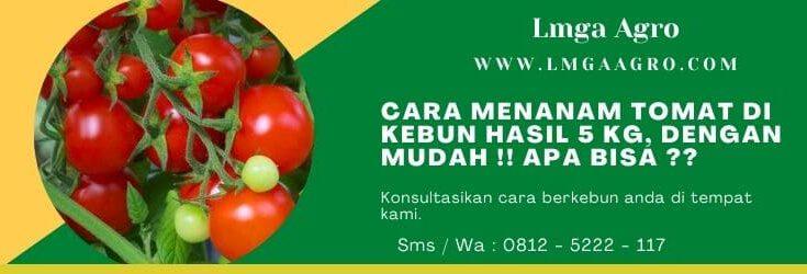 Cara menanam tomat, Cara menanam tomat di kebun, Tanaman tomat, Tanam tomat, Jual benih tomat, Benih tomat anti virus, Lmga Agro