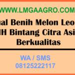 Jual Benih Melon Leoni MH Bintang Citra Asia Berkualitas