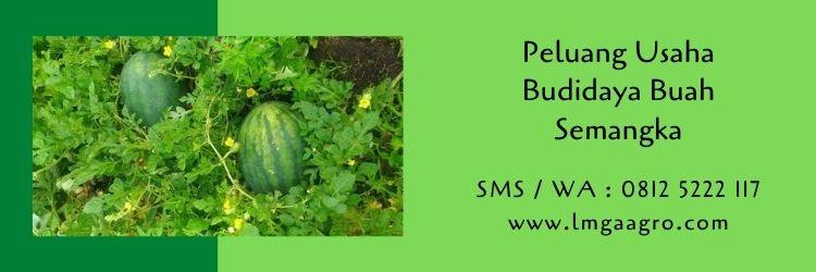 semangka,buah semangka,budidaya semangka,peluang usaha,pertanian,usaha pertanian,benih semangka,bibit semangka,semangka kuning,lmga agro