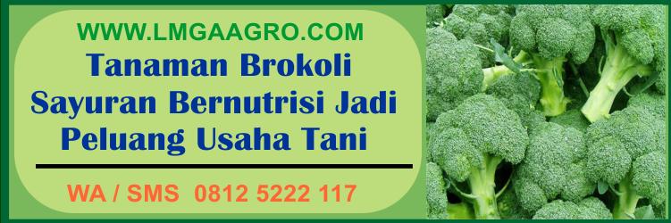 Tanaman Brokoli Sayuran Bernutrisi Jadi Peluang Usaha Tani