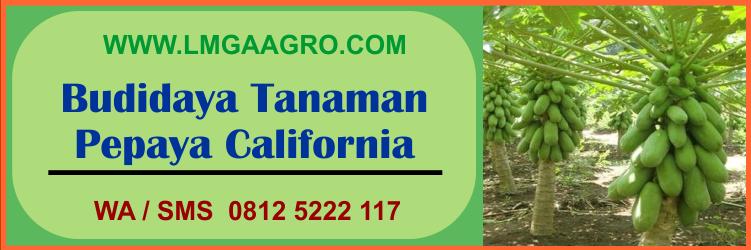 budidaya, tanaman, pepaya, california