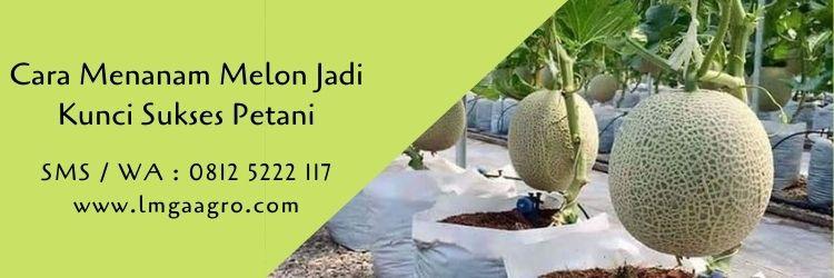 cara menanam melon,budidaya melon,benih melon,pertanian,benih tanaman,lmga agro