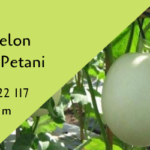 Cara Menanam Melon Tahan Virus Favorit Petani