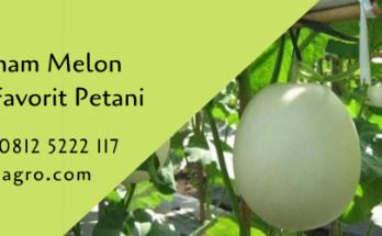 cara menanam melon,melon,budidaya melon,benih melon,buah melon,lmga agro