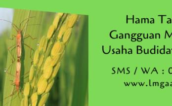 hama tanaman,hama,budidaya tanaman,pertanian,pestisida,petani,lmga agro