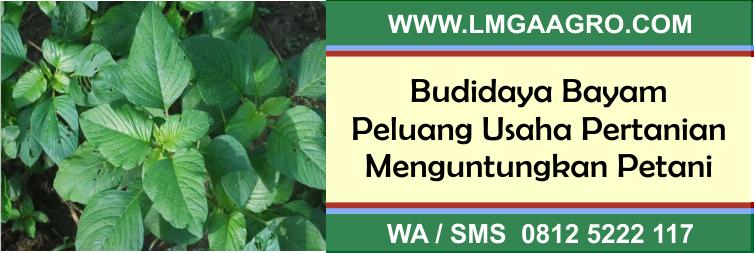 Budidaya Bayam Peluang Usaha Pertanian Menguntungkan Petani