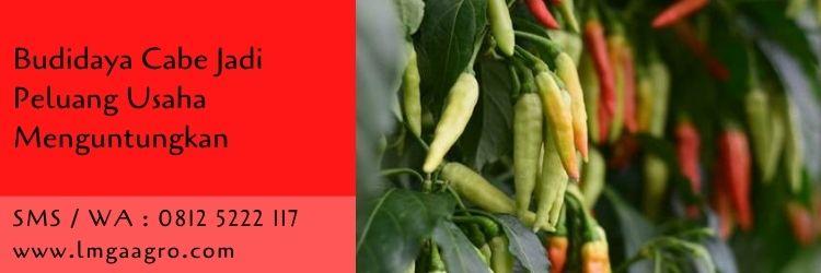 budidaya cabe,usaha pertanian,budidaya tanaman,peluang usaha,benih cabe,bibit cabe,cabe merah,cabe rawit,lmga agro