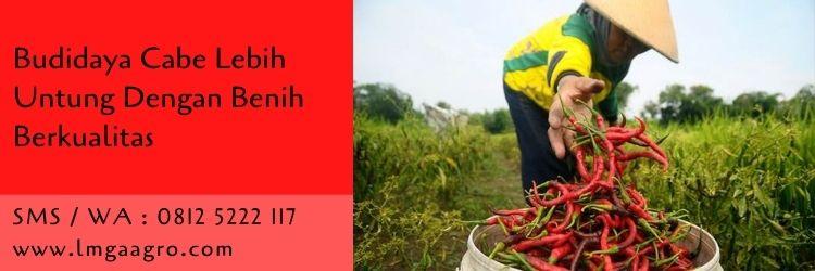 budidaya cabe,cabe merah,cabe rawit,cabe keriting,budidaya tanaman,pertanian,benih tanaman,lmga agro
