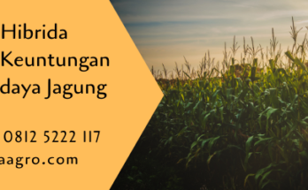 jagung hibrida,budidaya jagung,benih jagung,budidaya tanaman,pertanian,lmga agro