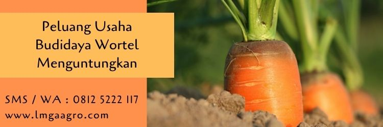 peluang usaha,pertanian,wortel,budidaya wortel,tanaman wortel,lmga agro