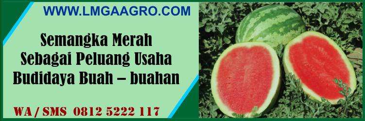 semangka, merah, peluang, usaha, budidaya, buah - buahan