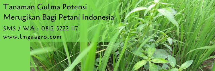 tanaman gulma,budidaya tanaman,gulma,hama,hama tanaman,pestisida,pertanian,lmga agro