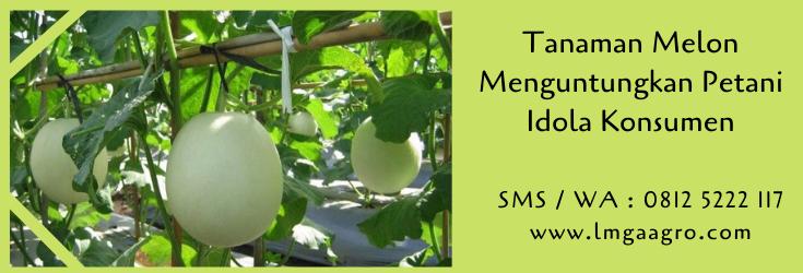 tanaman melon,budidaya melon,benih melon,bibit melon,cara menanam melon,pertanian,melon,lmga agro