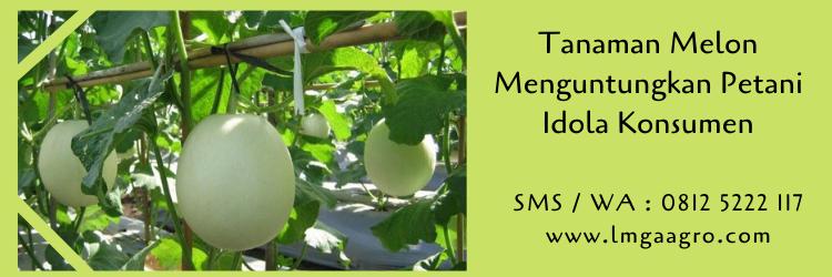 Tanaman Melon Menguntungkan Petani Idola Konsumen