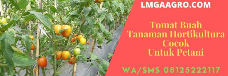 Tomat Buah Tanaman Hortikultura Cocok Untuk Petani