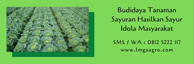 budidaya tanaman,budidaya tanaman sayuran,budidaya tanaman sayur,pertanian,lmga agro