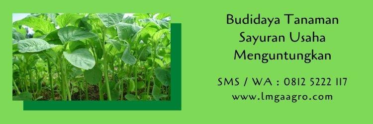 budidaya tanaman,budidaya tanaman sayuran,benih tanaman,pertanian,usaha pertanian,lmga agro