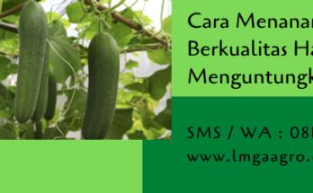 cara menanam timun,timun,budidaya timun,benih timun,bibit timun,budidaya tanaman,pertanian,lmga agro